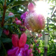 Explosion de soleil (Carole Michaud / Camirio) Tags: leica sun water soleil bravo drop fushia gouttesdeau camirio