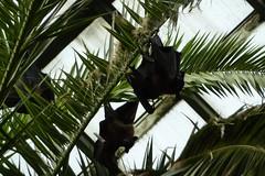 Fledermäuse (Frank Hambach) Tags: berlin zoo friedrichsfelde bat tierpark fledermaus alfredbrehmhaus