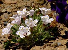 Lilac Sunbonnets