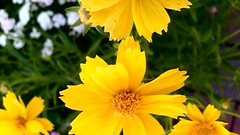 Yellow flowers too (Rileah) Tags: flowers lilies honeysuckle daylilly gardenpath stonepathway violas seapinks flagstonepath
