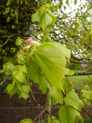young-beech-leaves-salisbury-plain-