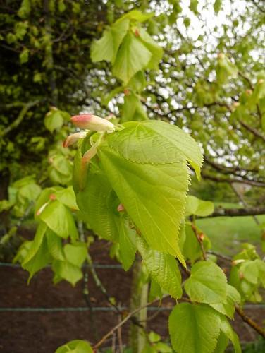 young-beech-leaves-salisbury-plain-