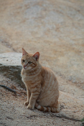 A stray cat in Mt. Rokkou
