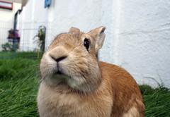 Helleau! (Sjaek) Tags: cute rabbit bunny grass garden lawn adorable pip