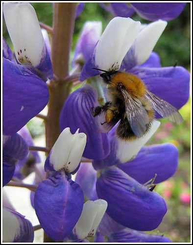 bee on a lupin copy