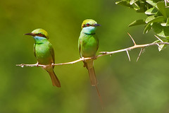 Mad at each other :) (AHMED...) Tags: pakistan cute green bird nature birds ilovenature asia branch sitting bokeh getty ahmed sind sindh muhammad gettyimages naturesfinest blueribbonwinner beeeaters saarc flickrsbest mehrabpur animalkingdomelite abigfave supe