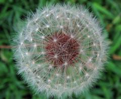 Yet another (riaskiff) Tags: flower digital canon dandelion naturesfinest canonpowershots3is isawyoufirst ysplix riaskiff