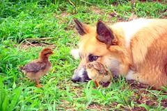 Joy! (LisaNH) Tags: dog chicken farm oneofakind sheepdog joy nh chick endangered furryfriday chickie hen rare icelandic bjarki loverboy featheryfriday icelandicsheepdog icelandicchicken mackhillfarm wowiekazowie fiveflickrfavs bjarkibirthday growfood