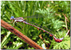 Hitching a ride (Carplips) Tags: macro insect flying dragonfly blueeyes parasites damselfly mites parasite canons2is
