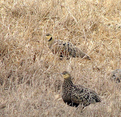 Yellow-throated and Chestnut-bellied Sand Grouse