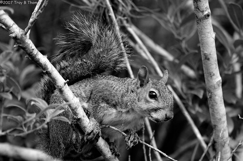 LP07252007_squirrel2_bw