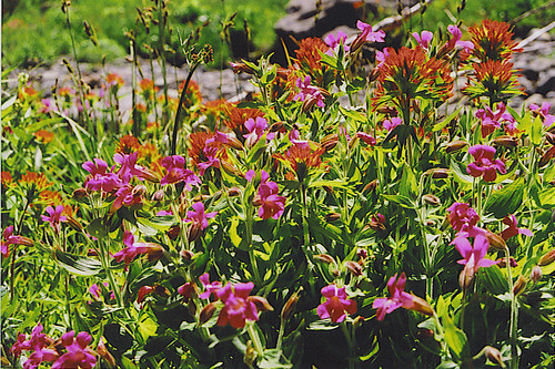 Pink monkeyflower and paintbrush
