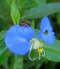 La flor del amor_8693 (jaciii (off&on)) Tags: blue red white black flower green yellow canon garden pretty pistil 1000v100f groovy birdsandbees blueblueblue leafbeetles animalcloseups thebiggestgroup sd600 canonsd600 outdoorbeauty depressionandbipolar superphotos wowiekazowie flickrdiamond top20blue elpasojoesplace jeannysfoto envyofflickr freenature anythingmacrophotography defendersmacroandcloseup madalenaandherflag thegrooviestphotographersintheworld biololgy cartelphotonaturalnothingmanmade flickrdiamondclassphotographyonce flickrdiamondclassphotographeronce