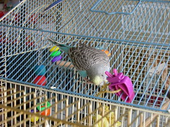 sunshine (PhotoPieces) Tags: bird budgie parakeet ilovebirds