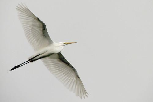 Grey sky, great egret by wolfpix