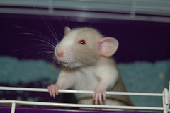 Hi, I'm Bob. (KristyR929) Tags: pet rat dumbo bob explore rats