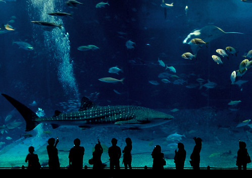 Whale Shark and Fish at Okinawa Aquarium, Nago City