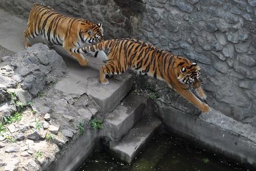 Тигры прыгают на стену
