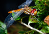 Libélula (alejocock) Tags: naturaleza nature fauna insect colombia natural campo santaelena medellin reserva antioquia insecto acock reservanatural montevivo alejandrocock biodiversityacockantioquiacolombiamedellinmontevivosantaelenaalejandrocockcamponaturalnaturalezareservareservanatural