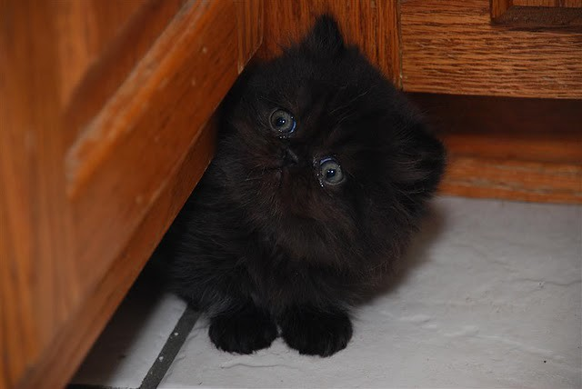 cute black kitten hiding pic