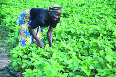 Woman farmer tending soybean field