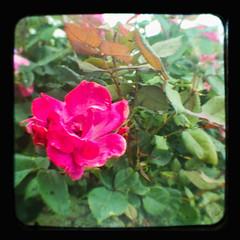 BG-flwrs_009 (Michael William Thomas) Tags: flowers red white ny green rose yellow garden botanical photo buffalo journal magenta violet daisy lackawanna vio southbuffalo mikethomas pinkpurple viovio mtphoto cmndrfoggy colorttv