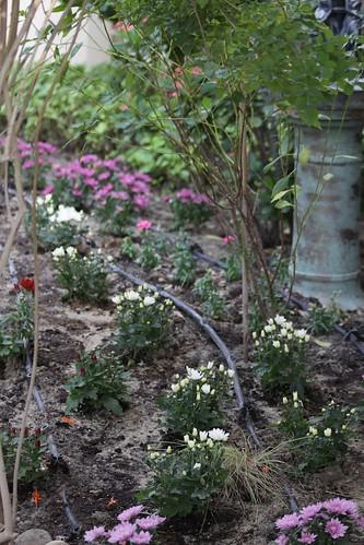 Chrysanthemums border