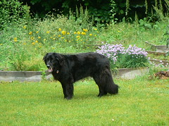 Our boy Angus (rdng tchr) Tags: dog black wet big angus bigblackdogs