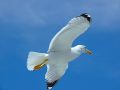 Seagull 2 Pescarus 2 (Alexandru Pop) Tags: cruise blue 2 sky white detail closeup photos seagull greece your faves alb athos invited mountathos chalkidiki halkidiki cer naturesfinest albastru supershot instantfave my pescarus finepixs6000fd finepixs6500fd fujifilmfinepixs6500fd winnerstrophy onlycomment mywinnerstrophyinvitedphotosonlycommenton2ofyourfaves top20blue fujifilmfinepixs6000fd fujifilmfinepixs6000fds6500fd munteleathois croaziera fujifinepixs6500fds6000fdjoinnow