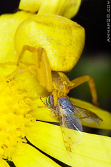 Bad Situation || (Ammar Alothman) Tags: life food macro nature animal animals yellow closeup canon bug insect death spider fly flickr gulf little killing spiders eating wildlife small attack insects bugs 100mm tiny end flies kuwait predator kuwaitcity kw 2007 q8 canon100mmmacro 30d circleoflife 100macro 100mmmacro canon100macro الكويت canon30d yellowspider predatorandprey عمار canon100mm 3mmar killingscene عمارالعثمان kuwaitwildlife specinsect kuwaitvoluntaryworkcenter مركزالعملالتطوعي صورالكويت صورمنالكويت