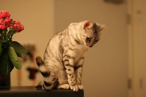 bengal cat pictures
