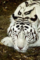 White tiger (* Thierry *) Tags: park wild portrait cats white france eye nature face animal animals closeup cat zoo eyes nikon feline wildlife tiger glance blanc tigre whitetiger 2007 regard flin felin eyeofthetiger flin beauval animalpicture tigreblanc flin