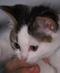 Ain't I pretty? (Jolanda van Tuijl) Tags: baby kitten pussycat poes kaylee poesje commentonmycuteness mrsjolanda