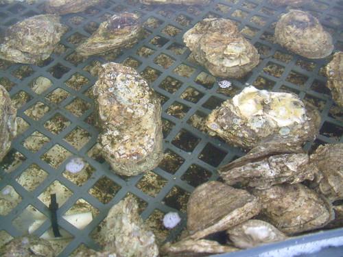 Oyster Hatchery, Grand Isle, LA 07.19.07 107