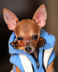 All dressed up! (*Kendall*) Tags: chihuahua sunglasses puppy ears cutedog doggles biggie dogsweater cutepuppy chihuahuapuppy dogsunglasses