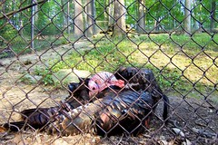 "Wild Turkey (rcvernors) Tags: wild animal turkey geotagged zoo wildlife feathers wv westvirginia gobblegobble frenchcreek county"" rcvernors frenchcreekgamefarm ""upshur westvirginiastatewildlifecenter"