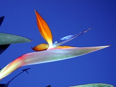 Bird of Paradise by DRB62, on Flickr