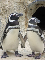 Penguin Love (Nikki OK) Tags: love birds animals penguins sanfranciscozoo naturesfinest supershot outstandingshots abigfave specanimaliconoftheweek impressedbeauty superaplus aplusphoto avianexcellence platinumheartaward happinessconservancy