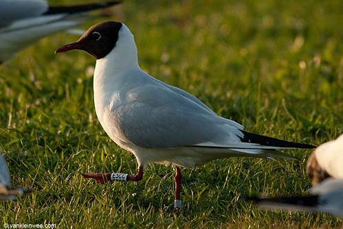 Black-headed Gull, adult, W[E5CC]