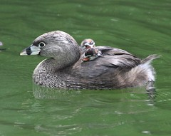 Pied-Billed Grebe (Charles D. Peters, M. P. R.) Tags: piedbilledgrebe blinkagain