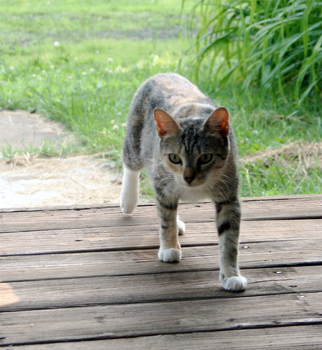 A calico kitty walks toward the camera.  She is mostly grey and yellow, with white under her chin and chest and white on each neat little paw.