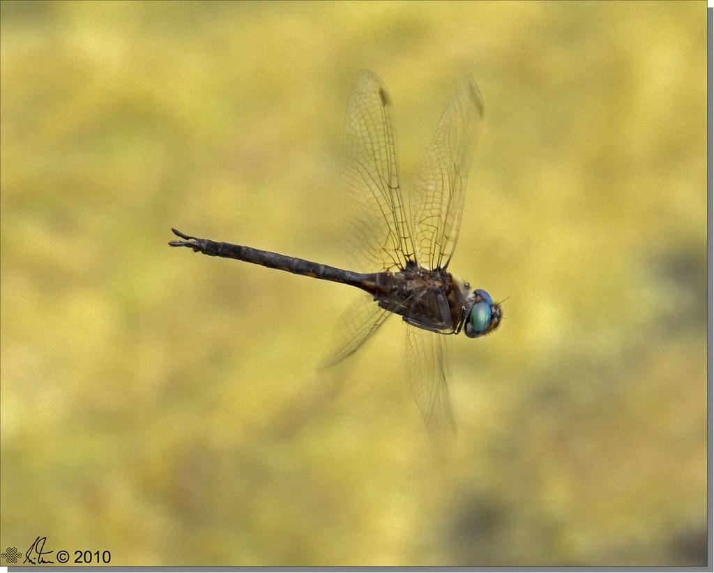 Slender Baskettail - Epitheca costalis