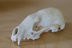 Fisher Skull