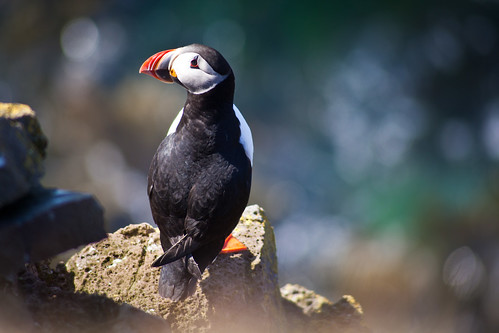 Puffin on Flickr