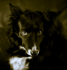 Look (gramster70) Tags: portrait dog nose collie border 85mm stare 5d