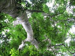 Castanospermum australe (tanetahi) Tags: bark trunk blackbean fabaceae castanospermumaustrale castanospermum arfp australianrainforestplants mortonbaychestnut malandafallsconservationpark qrfp galleryarf tropicalarf lowlandarf uplandarf subtropicalarf cyrfp