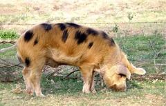 PIG (Sus scrofa domestica) Cerdo , Porco .................... Original = (3228 x 2072) (turdusprosopis) Tags: sau siga muc ti hwch truie maiale porc suino moch svin verrat scrofa cochette porcelet txerria hausschwein cochondelait verro cochonnet mammiferi porko mochyn porcu goret sevrage kochon ròi artiodattili χοίροσ swien pemoch tamsvin pourcea ᑰᐦᑰᔥ beraz khuchi suideaddomesticato cochondomestique nourrain nourrin suiformi verretti scrofette świniadomowa домашнасвиня домаћасвиња домашняясвинья сьвіньня свинясвійська lợnnhà domačiprašič tammevarken nimêl naminėkiaulė bisóodi pòrco kodusiga urdea baboydomestika pourceas coshets zwyn porsél porculdomestic porcdomestic sviňadomáca prasadomáce mājascūka värken сибиинньэ nguruwekaya domaćasvinja baktindomestika