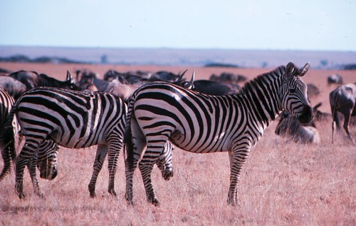 Zebra and wildebeest in the Masai Mara Game Reserve