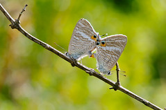 Long-tailed Blue () Tags: hongkong pentax k7 longtailedblue