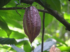 Cocoa Bean (becklectic) Tags: chocolate spices 100 srilanka cocoa 2007 spicegarden views100 230countries pc050533 photobyemile worldtrekker 230countriessrilanka